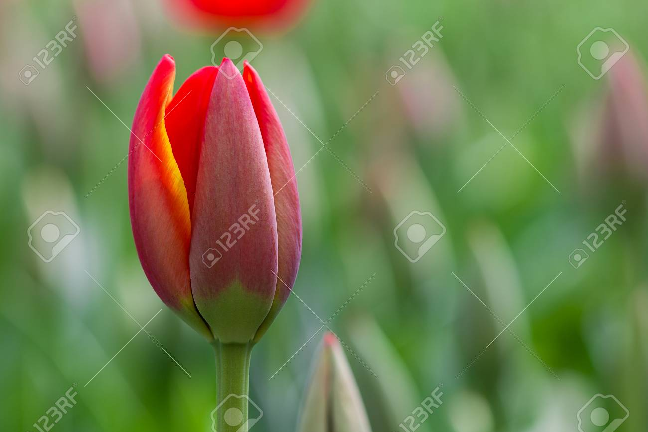 Tulip flower and green leavesautiful tulips stock photo picture stock photo tulip flower and green leavesautiful tulips izmirmasajfo