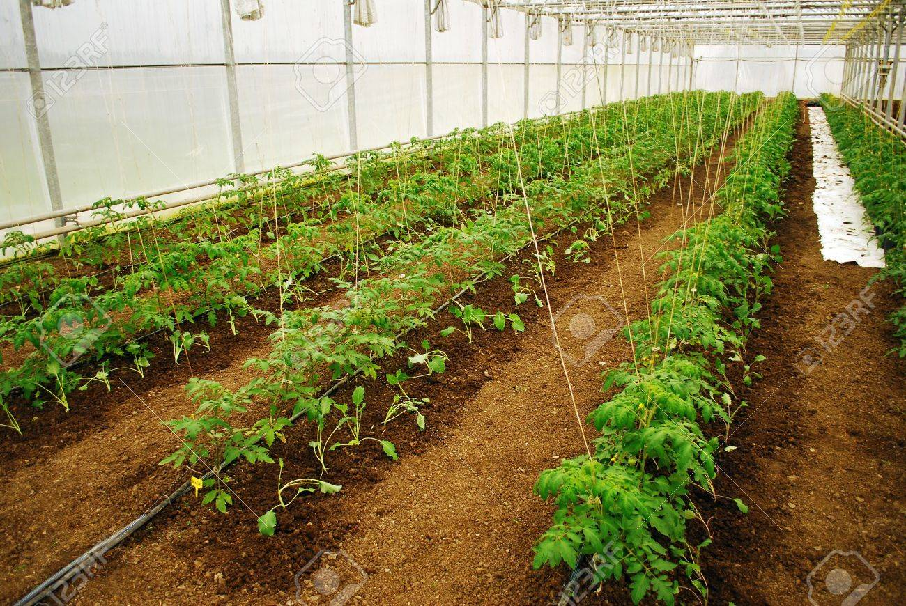 Young green tomatoes row in a medium plastic greenhouse - 6658054