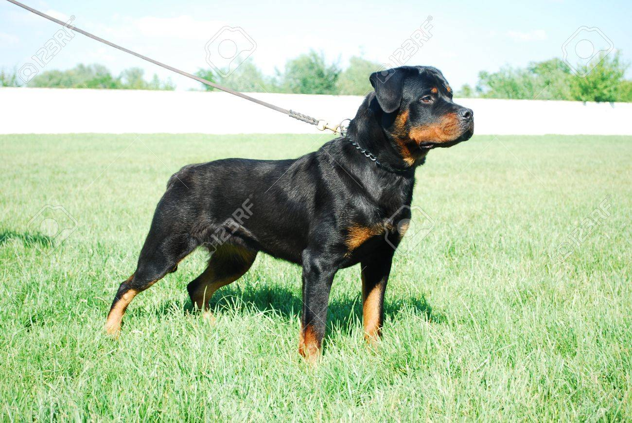 Good looking rottweiler standing in a grassy field - 7141305