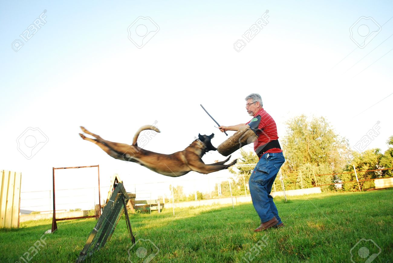 purebred belgian shepherd dog jumping over an obstacle and attacking a man - 7275915