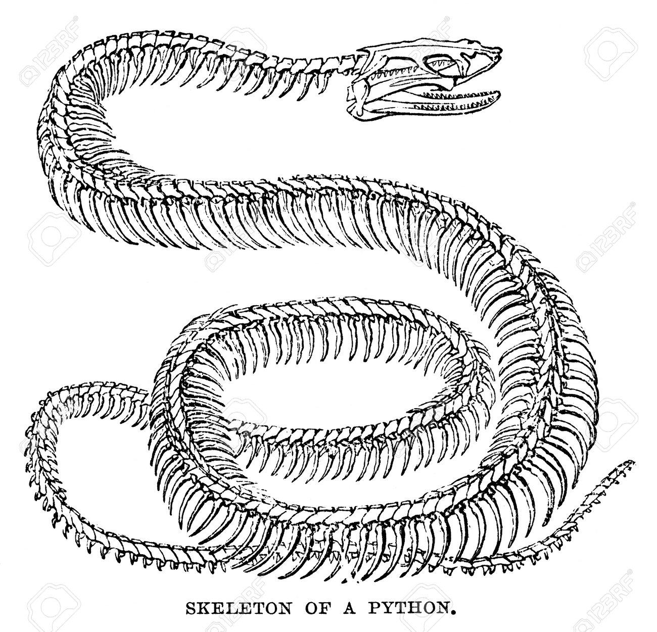 Una Imagen Grabada De Un Esqueleto De Serpiente Pitón En El Libro La ...