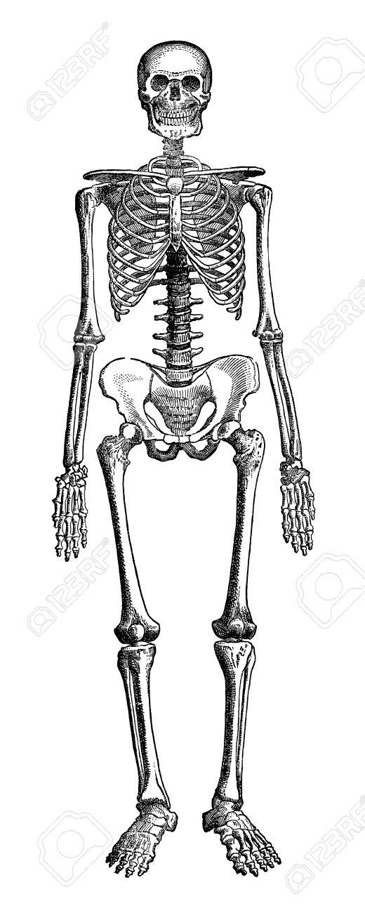 an engraved vintage illustration image of a human skeleton of, Skeleton