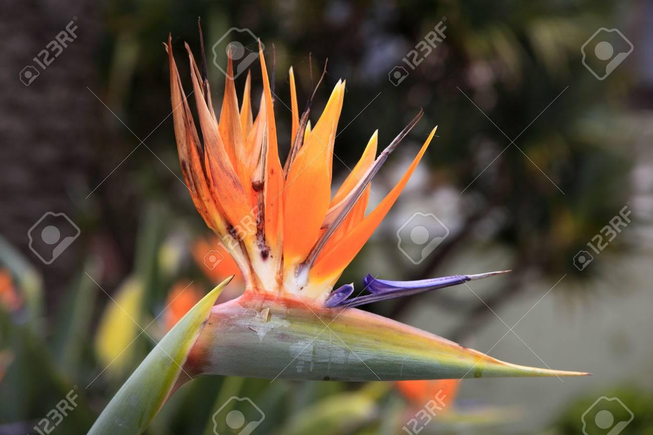 Oiseau De Paradis Strelitzia Reginae Une Belle Plante Vivace