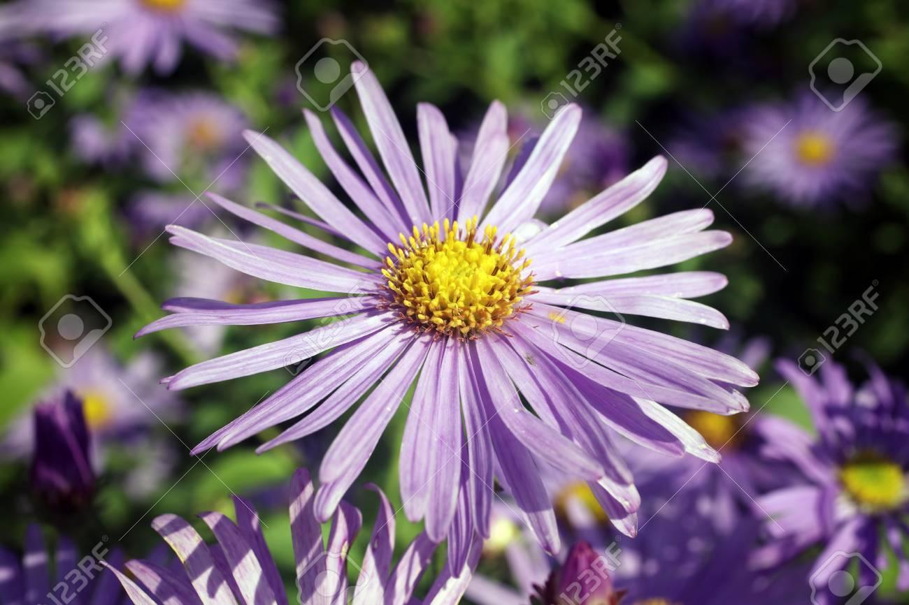 Aster X Frikartii Monch Une Plante Herbacee Vivace Cultivee Usine