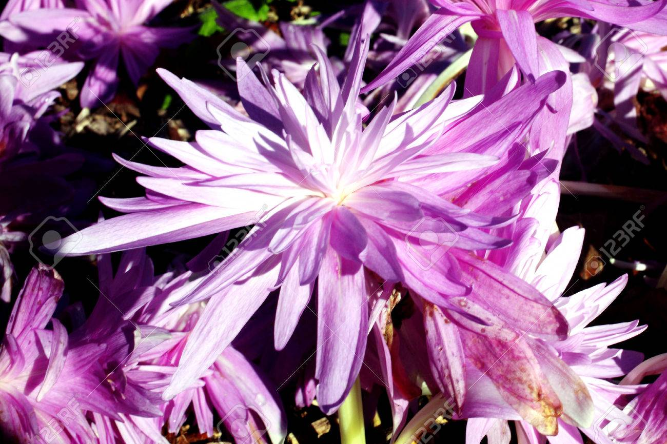 Colchicum Autumnale Waterlilly An Autumn Fall Flowering Bulb