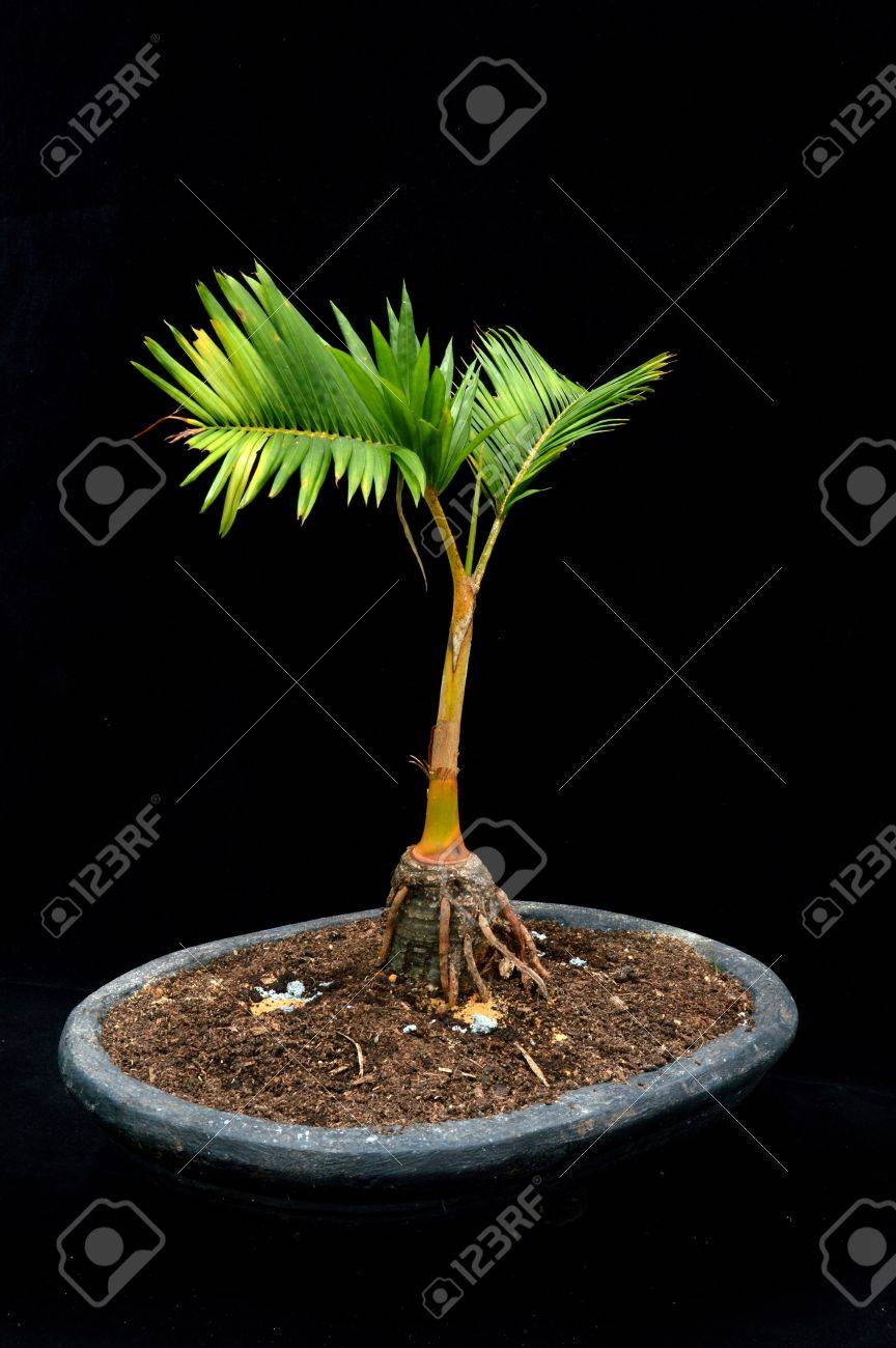 Bonsai Palm Tree On Black Background Stock Photo Picture And Royalty Free Image Image 19083036