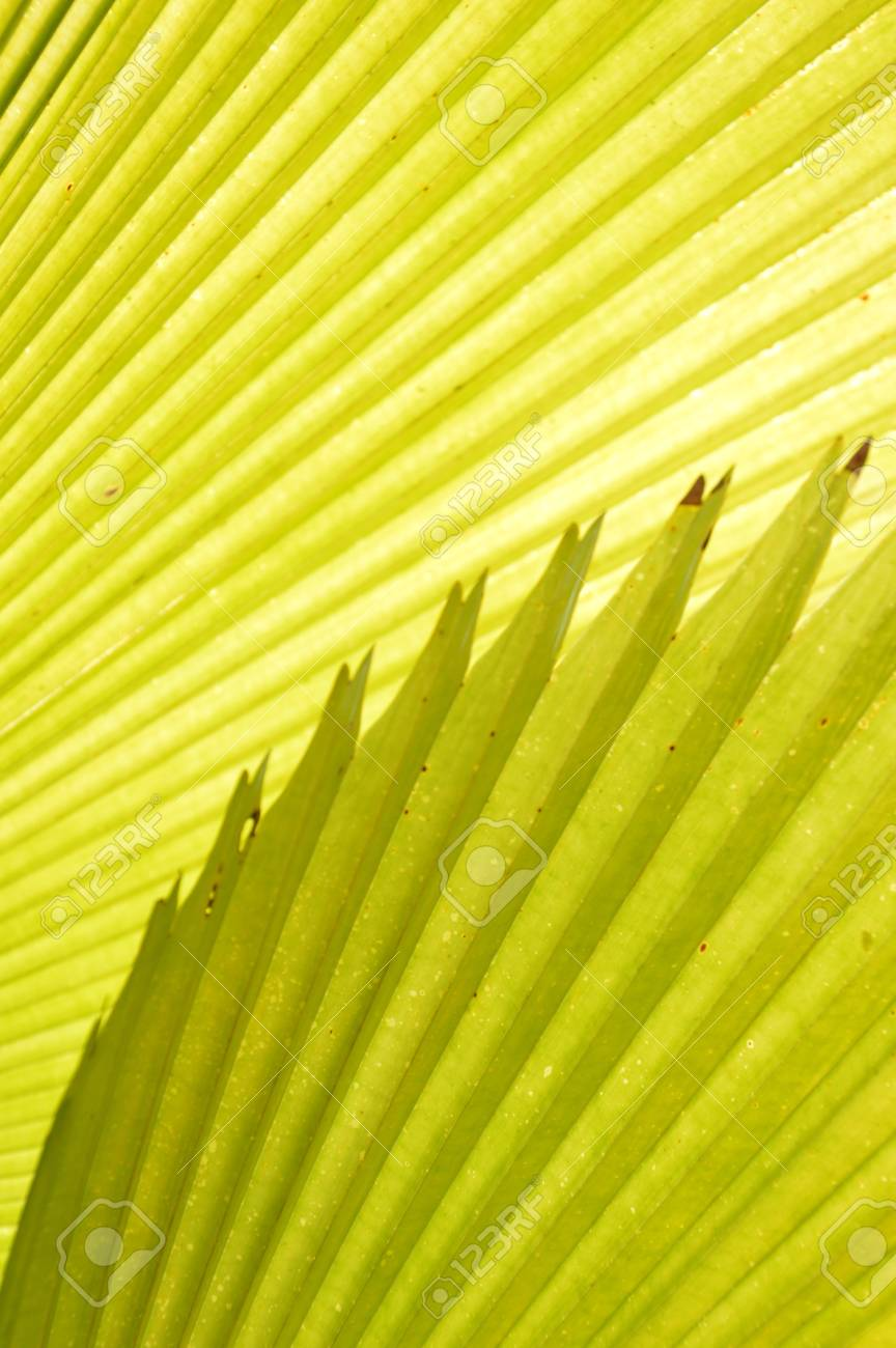 detailed pattern and texture of green palm leaf Stock Photo - 23516497