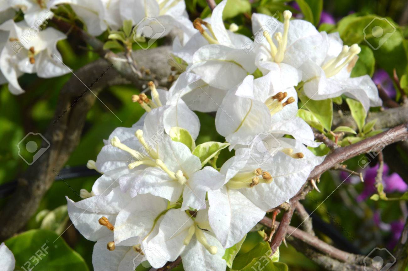 White Bougainvillea Spectabilis Stock Photo, Picture And Royalty ...