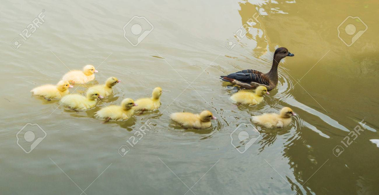 mother duck and baby ducklings swimming in the river stock photo