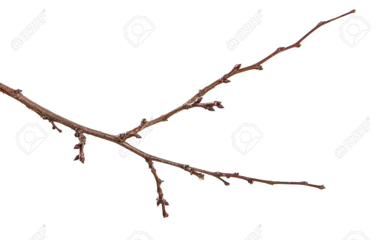 dry apricot tree branch. isolated on white - 122281384