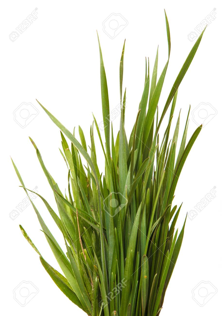 A bunch of green grass. Isolated on white - 123482378