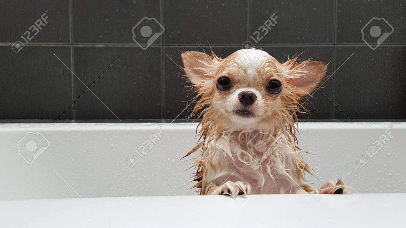 Kleine Niedliche Braun Chihuahua Hund Für Besitzer In Der Wanne