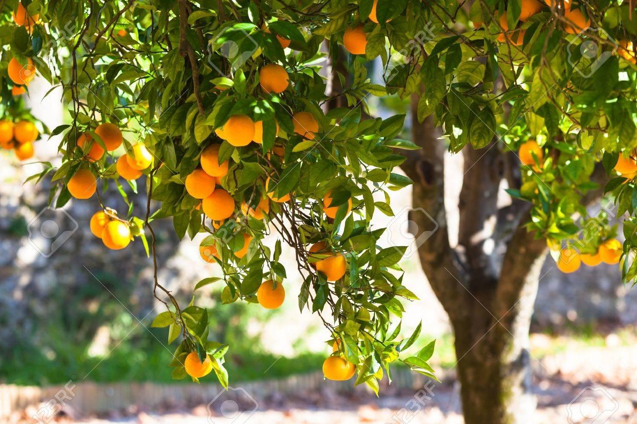 Orange tree with ripe fruits in sunlight. Horizontal shot Stock Photo - 17546917