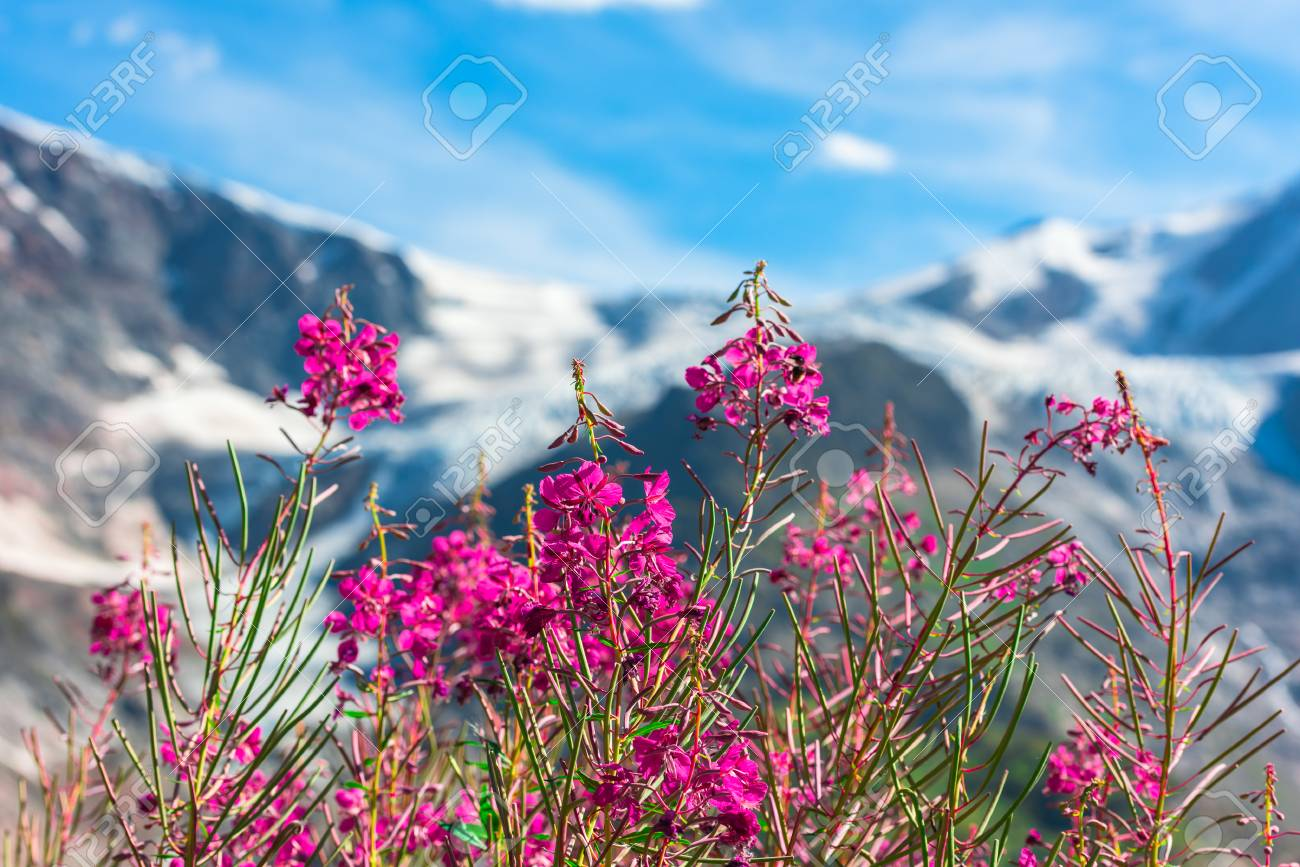 Swiss apls mountains in summer with wild pink flowers on the stock stock photo swiss apls mountains in summer with wild pink flowers on the foreground mightylinksfo