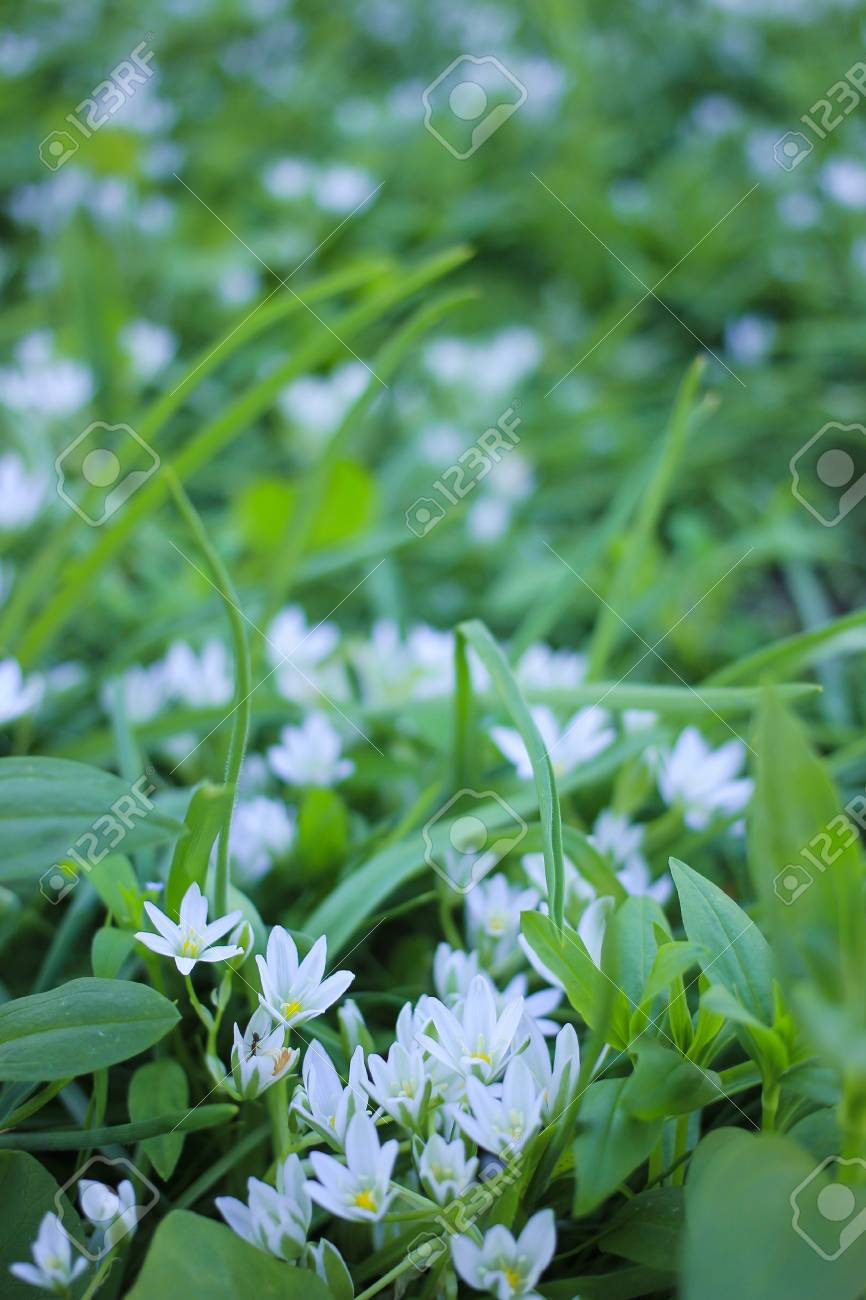 Small White Spring Flowers On A Green Glade Stock Photo Picture And