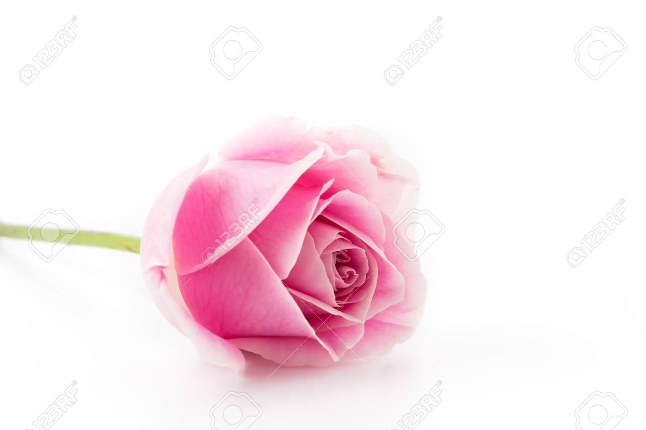 Immagini Stock Bianco E Rosa Rosa Isolato Su Sfondo Bianco Image