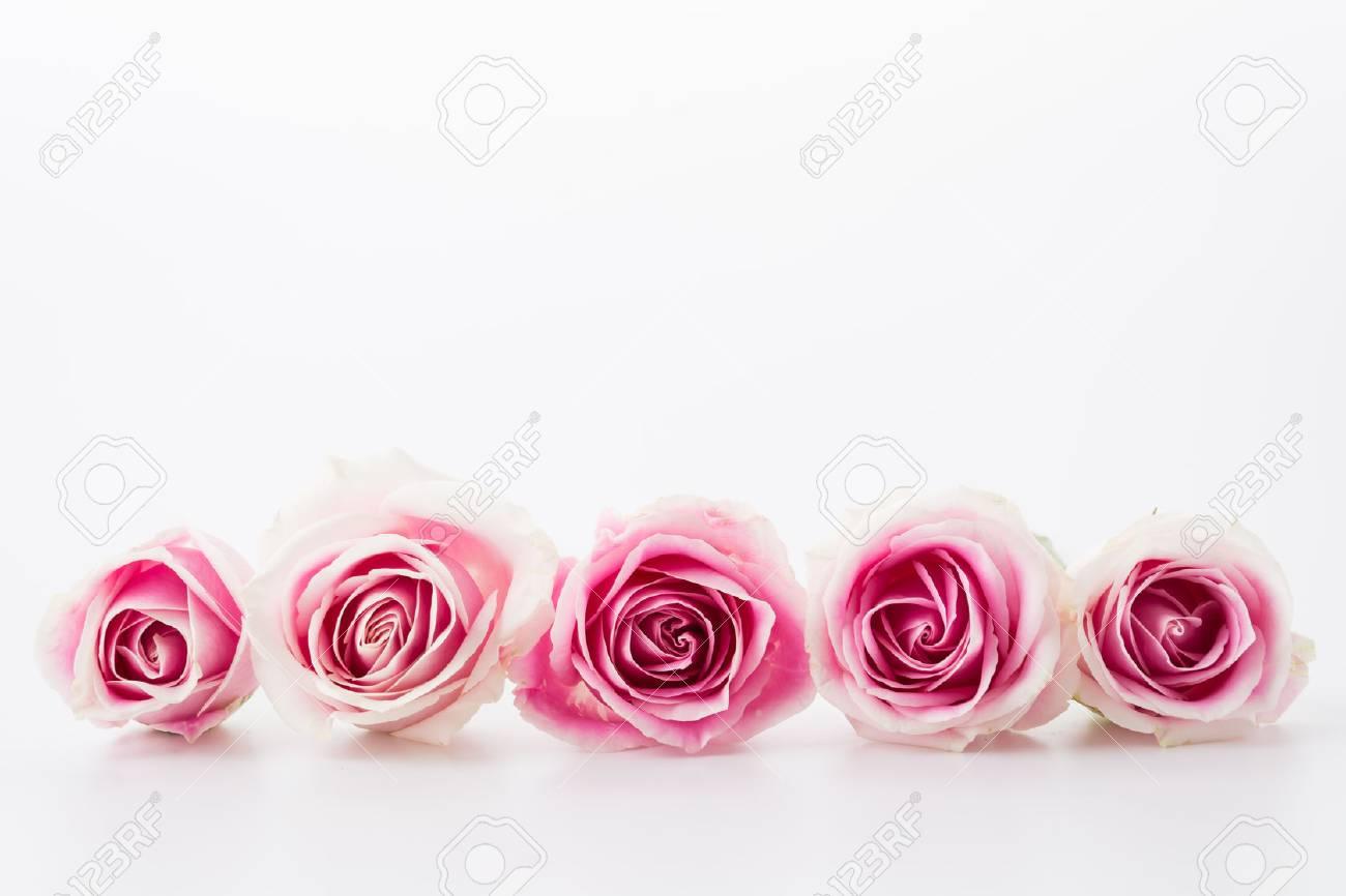 Immagini Stock Rosa Bianca E Rosa Su Sfondo Bianco Image 42047793