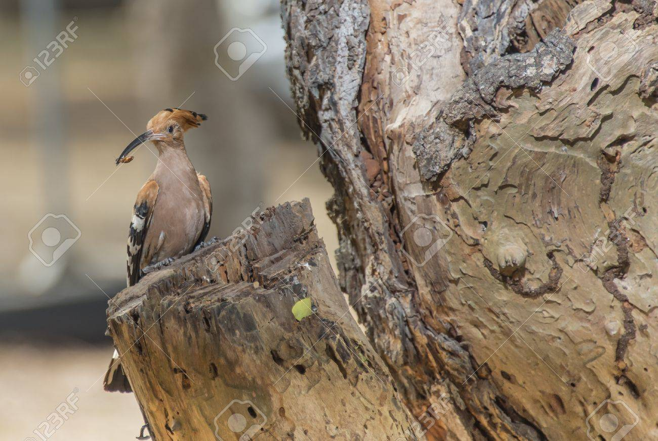 Brown wood pecker with insect in the mouth Stock Photo - 19339673