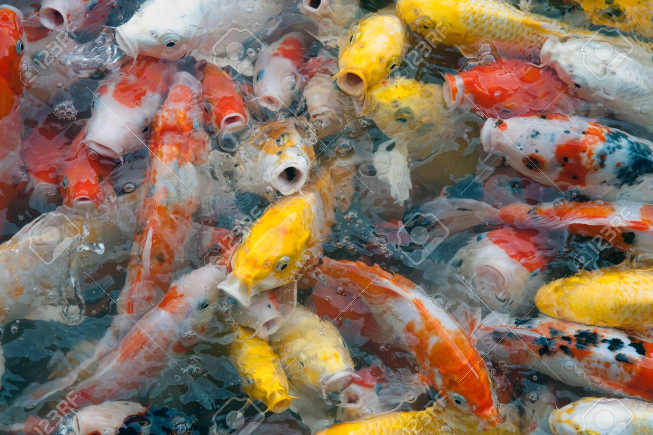 Top View Of Colourful Fancy Koi Carp Fish Symbols Of Good Luck
