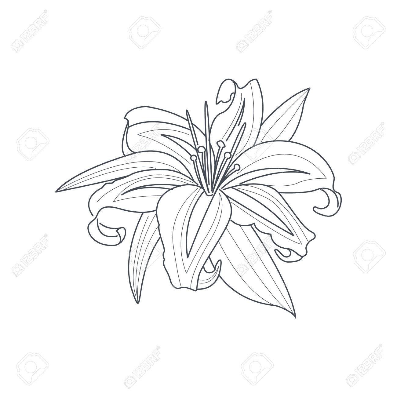 Lily Flor Dibujo Monocromo Para Colorear Libro Mano Dibujado Vector