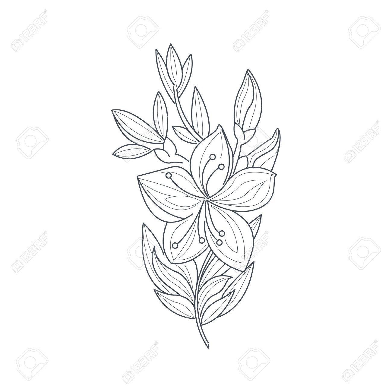 Dibujo Blanco Y Negro De La Flor De Jazmín Para Colorear Libro Dibujado Mano Del Vector Del Estilo Simple Ilustración