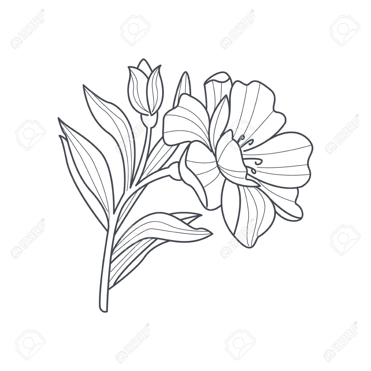 Dibujo Blanco Y Negro De Caléndula Flor Para Colorear Libro Dibujado ...