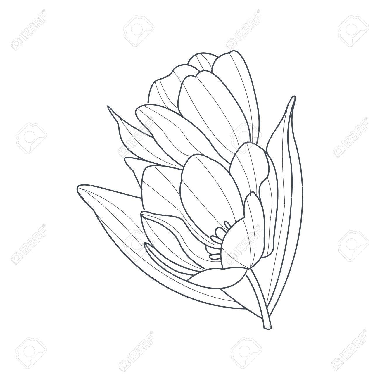 Tulpe-Blumen-Monochrom-Zeichnung Für Malbuch Hand Gezeichnet Vektor ...