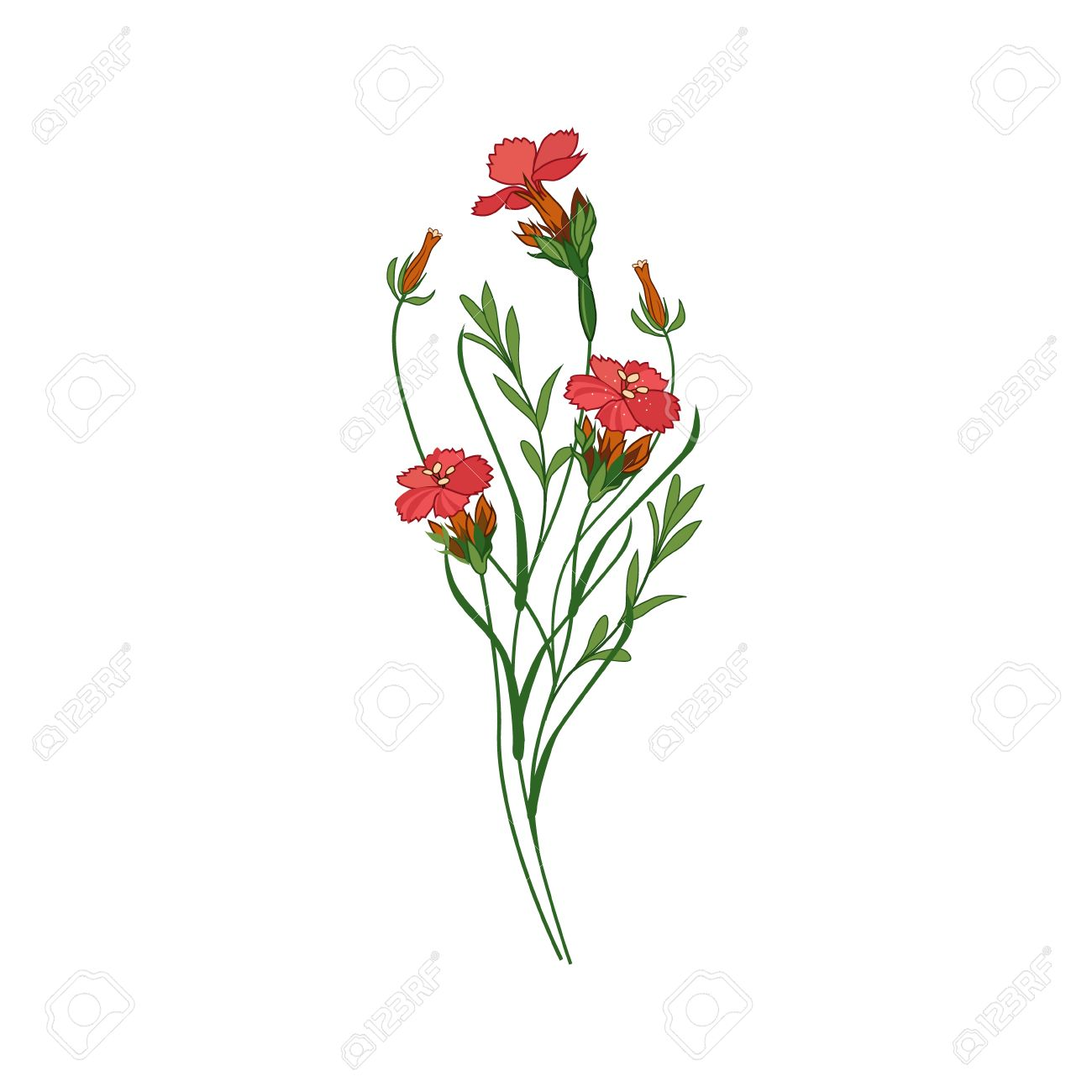 Sweet William Wild Flower Hand Drawn Detailed Illustration Plant