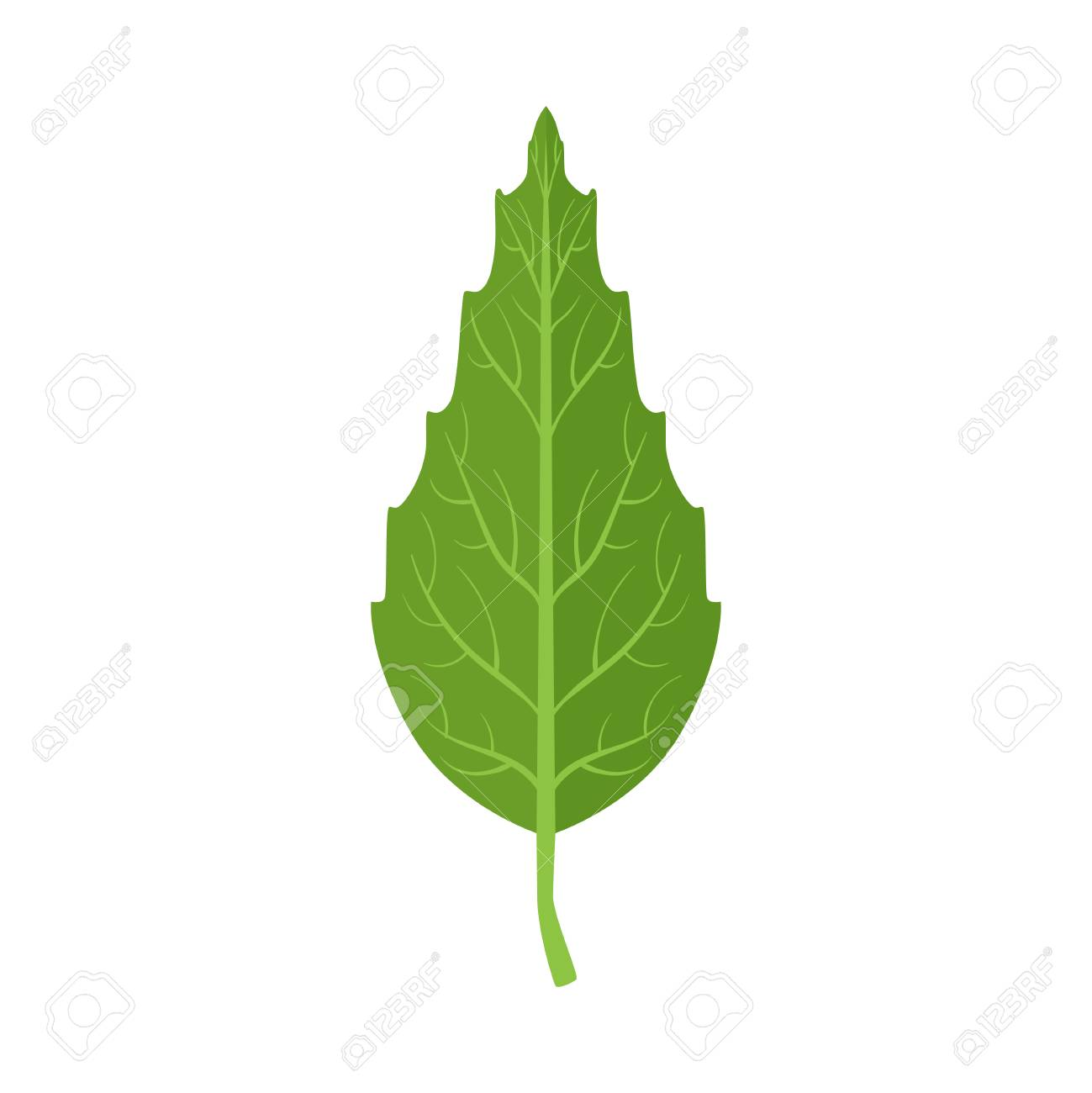 Beech tree green leaf vector Illustration on a white background - 85203787
