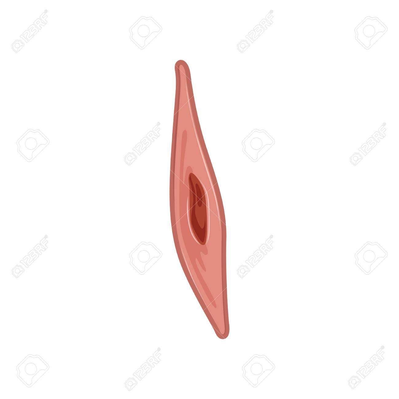 Icono De La Célula Del Músculo Liso Bajo El Microscopio. Concepto De ...