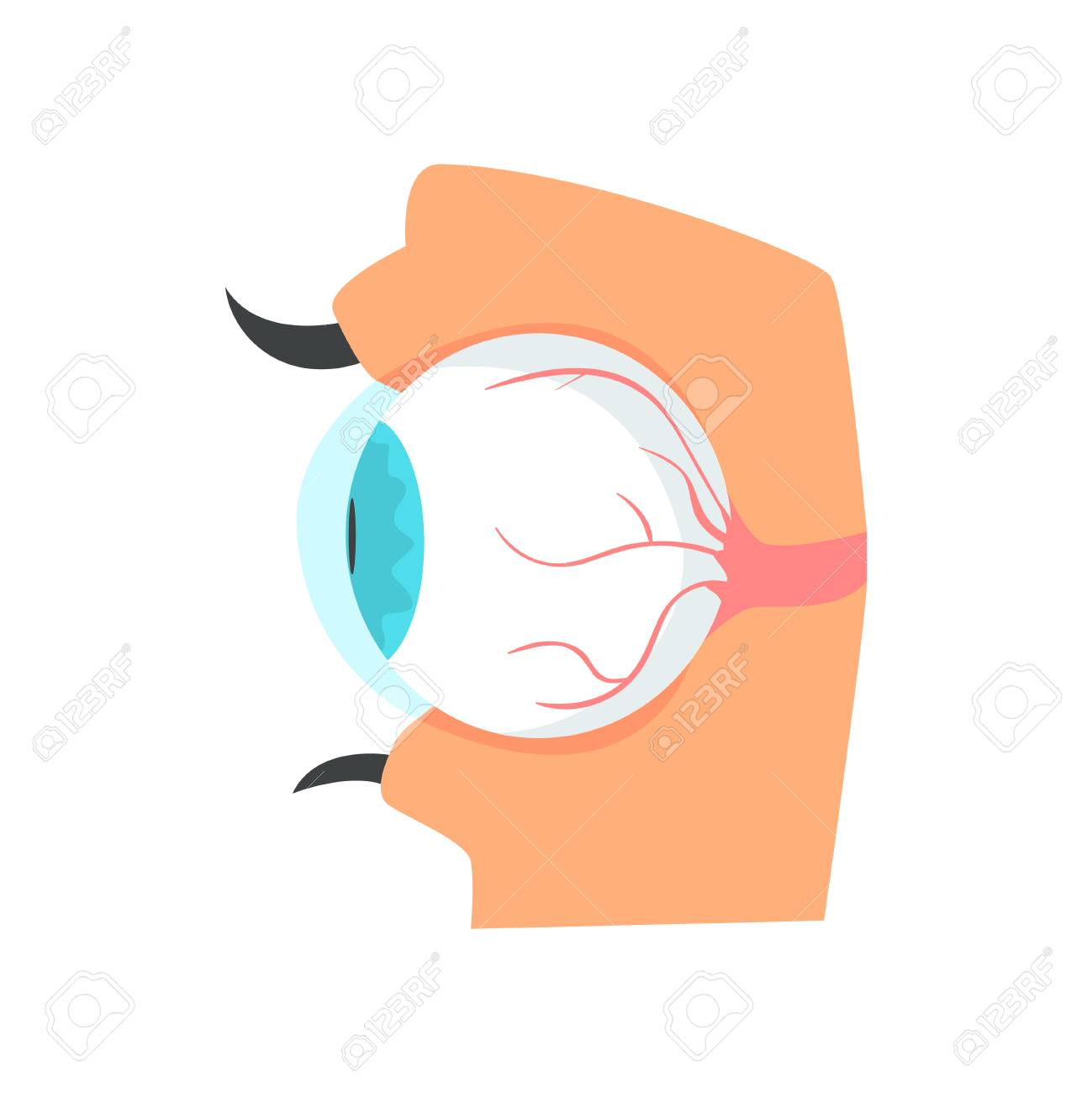 Globo Ocular, Anatomía Del Ojo Humano Vector De Dibujos Animados ...