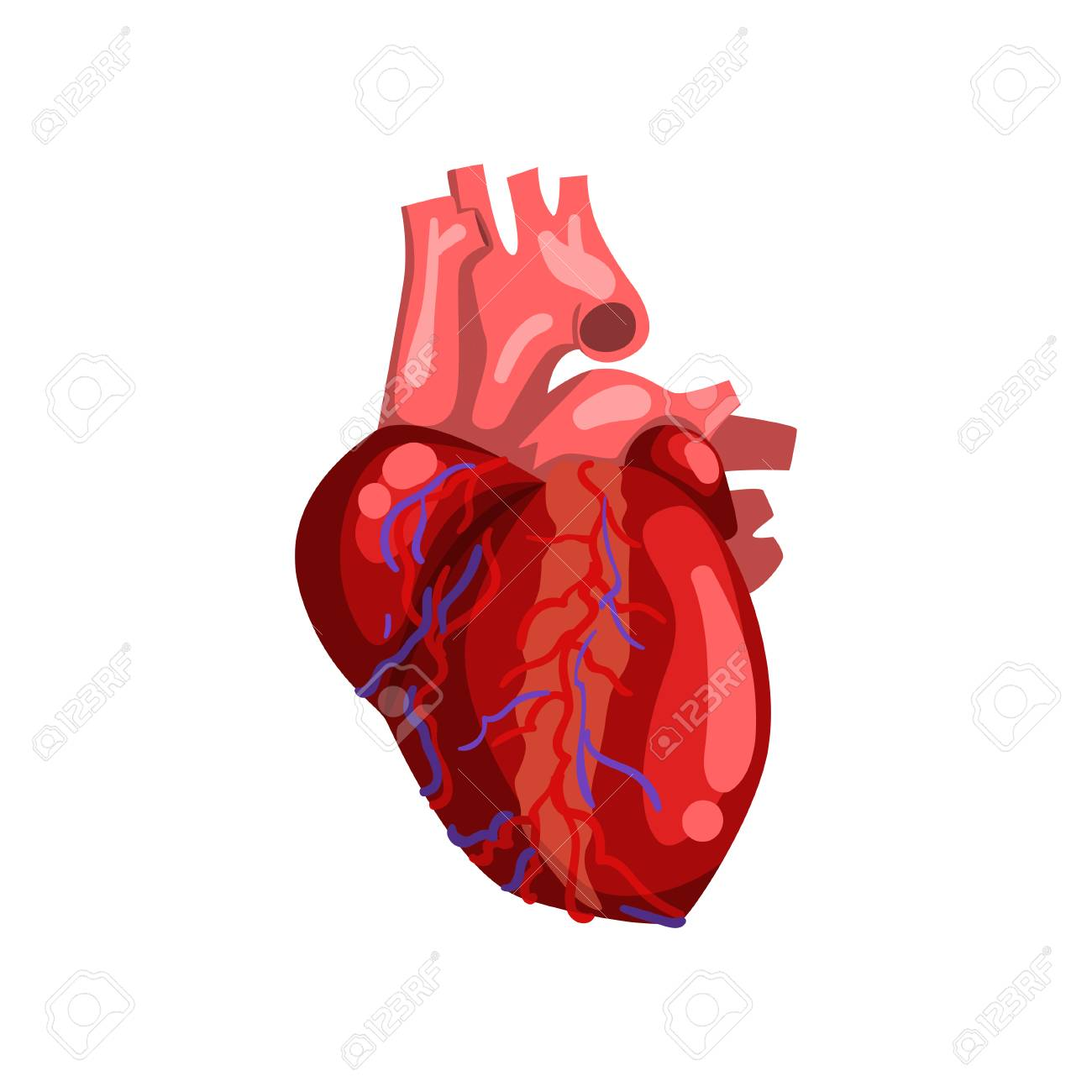 Human Heart, Internal Organ Anatomy Vector Illustration On A ...