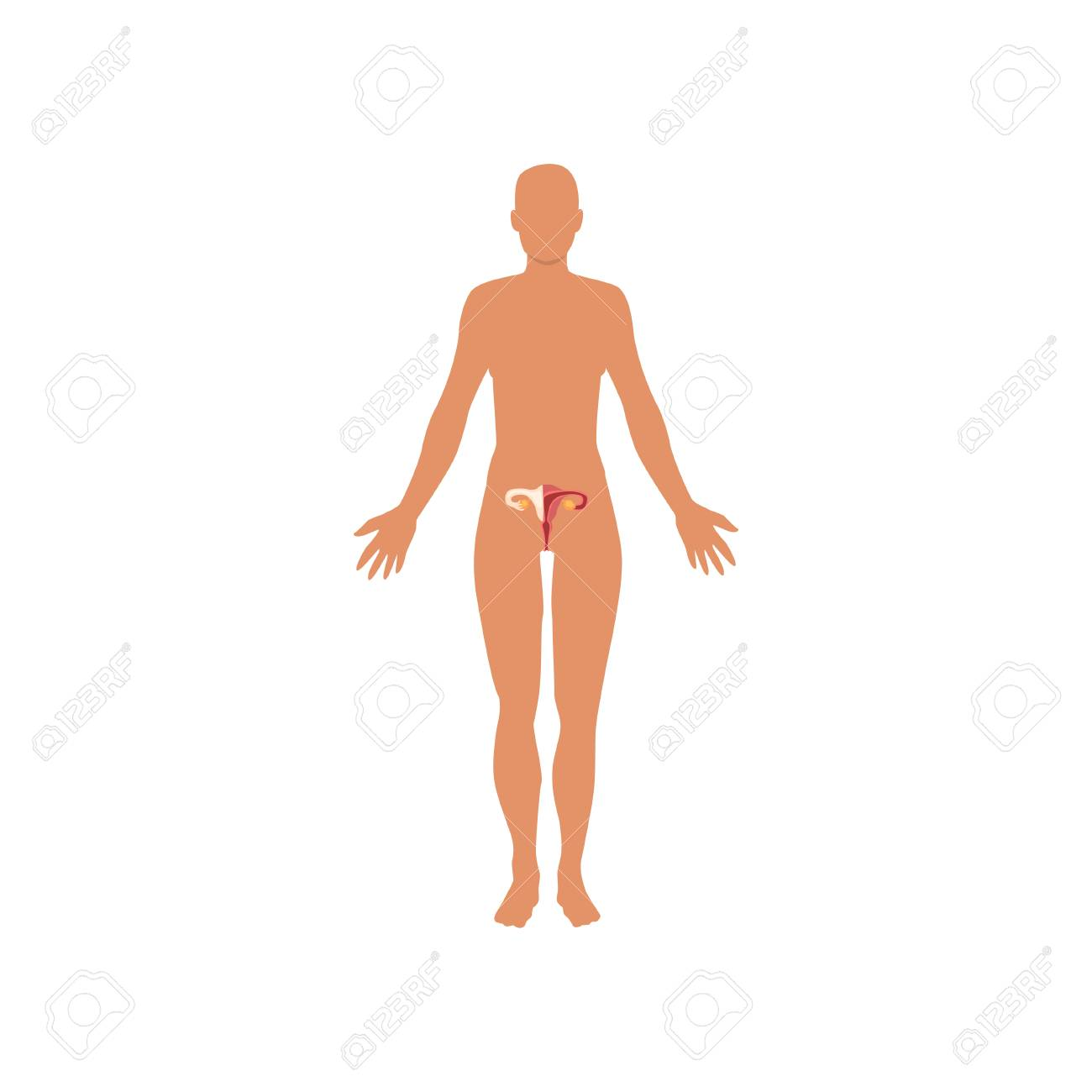 female sexual system anatomy of human body vector illustration royalty free cliparts vectors and stock illustration image 104332923 female sexual system anatomy of human body vector illustration