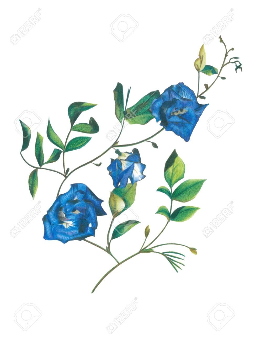 Mano Dibujar Flores De Guisante De Mariposa Por Lápiz De Color Fotos
