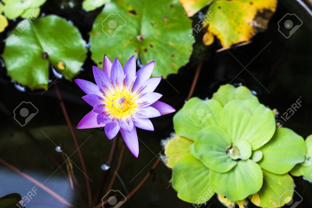 Purple And Yellow Lotus Or Water Lily With Huge Green Water Leafs