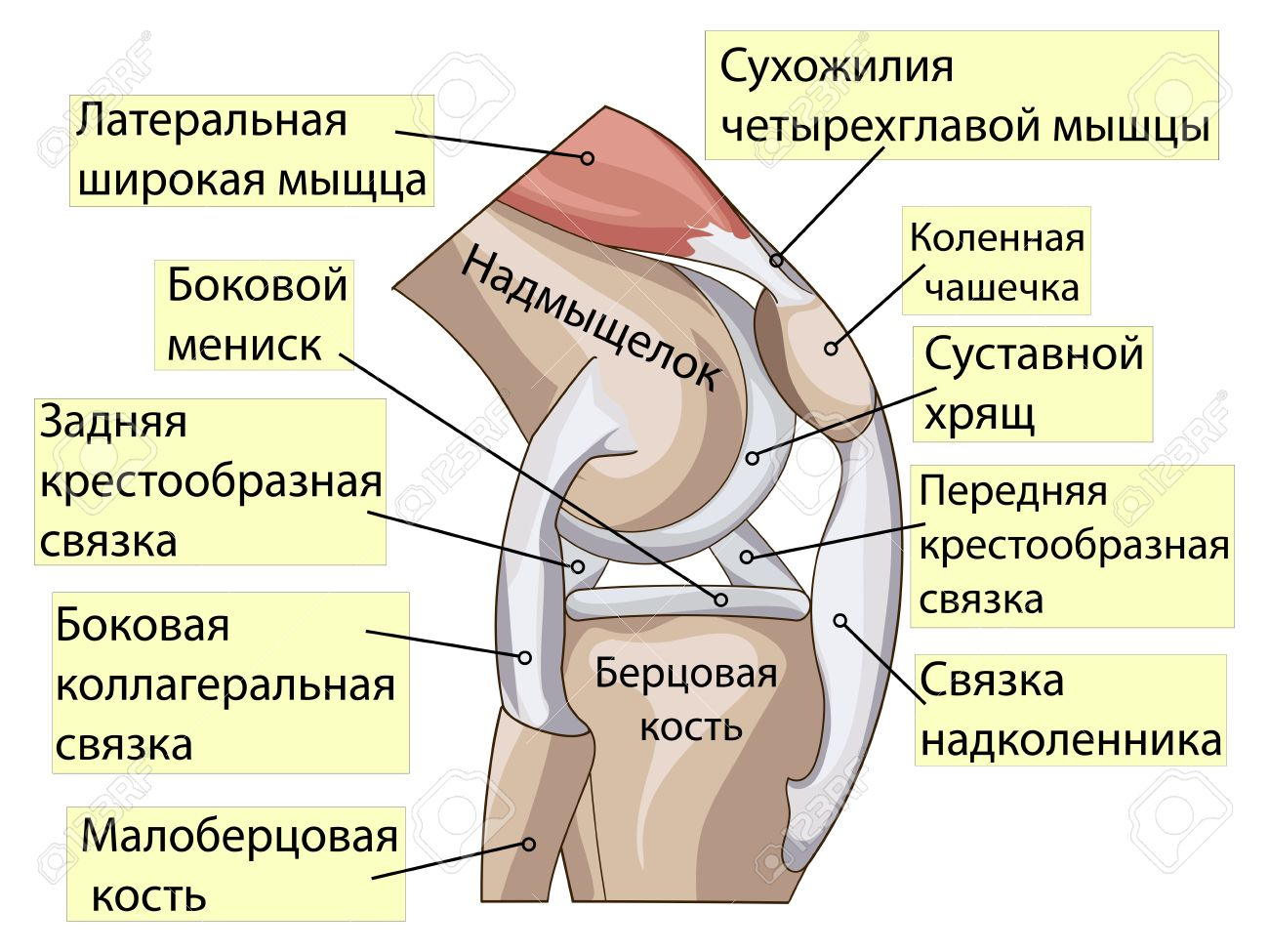 Anatomy Knee Joint Cross Section Showing The Major Parts Which