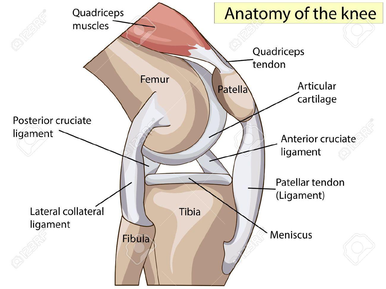 Anatomie. Kniegelenk Querschnitt Die Hauptteile Zeigt, Die Das ...