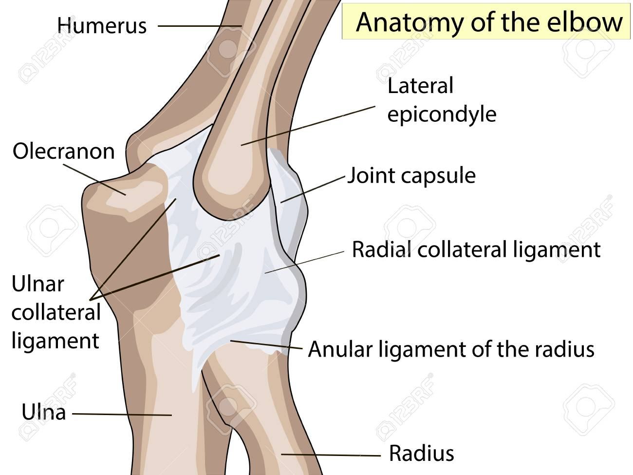 Anatomical Design Posterior And Radial Collateral Ligament Of