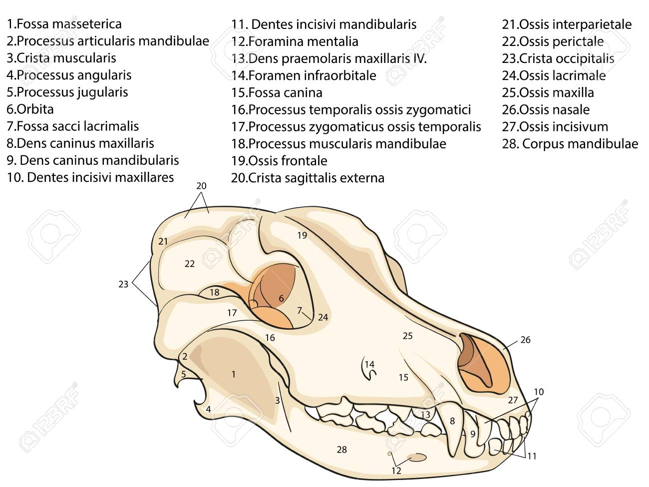 The Skull Of A Dog, Structure Of The Bones Of The Head, Anatomical ...