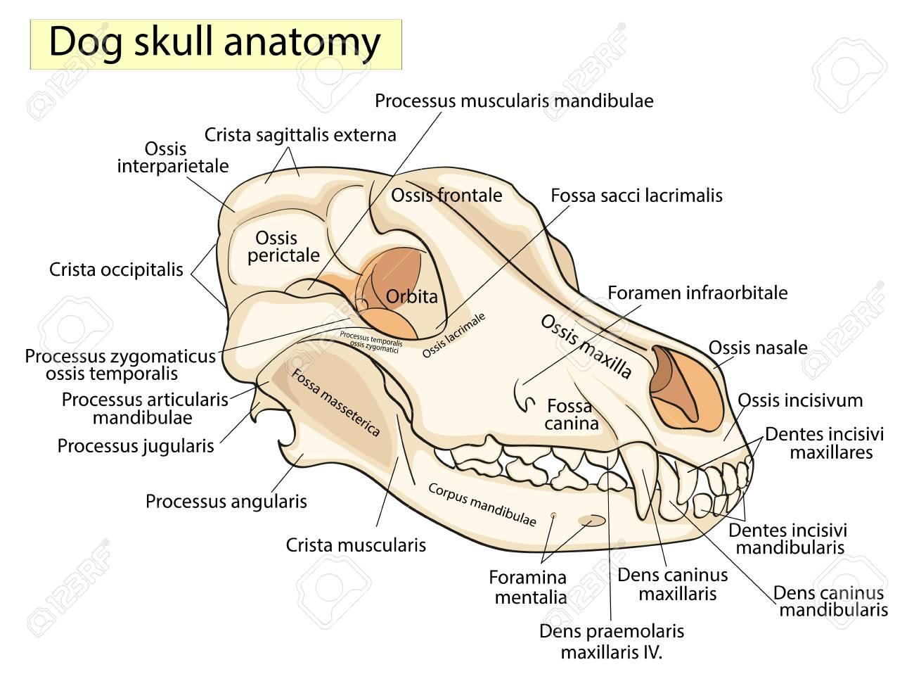 Schön Känguru Anatomie Fakten Galerie - Anatomie Von Menschlichen ...