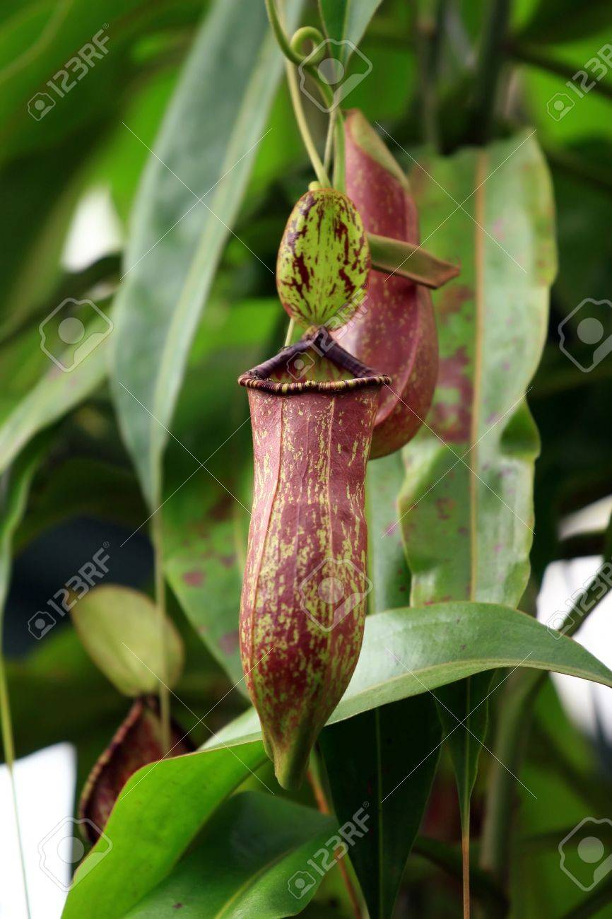 Nepenthes truncata Stock Photo - 3601317