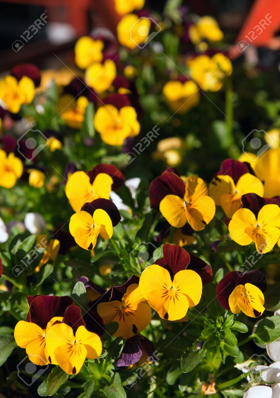 Field Of Colorful Yellow Purple Spring Flowers Pansies Stock Photo