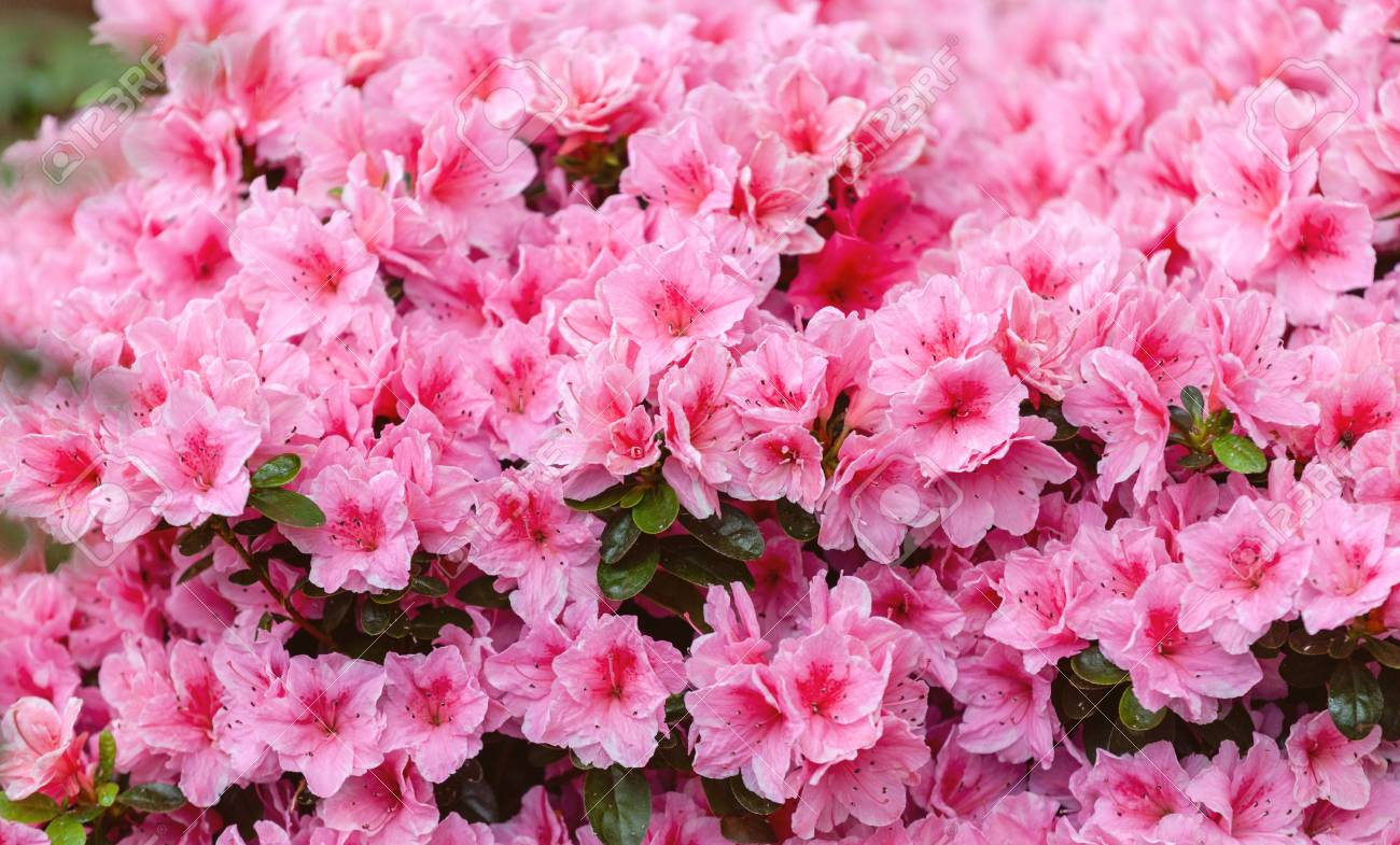 Background Of Beautiful Pink Azalea Flowers Stock Photo Picture And