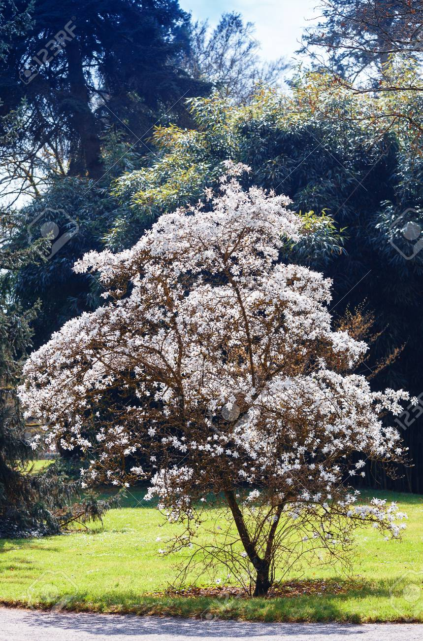 Blossoming White Magnolia Trees In Spring Stock Photo Picture And Royalty Free Image Image 115176407