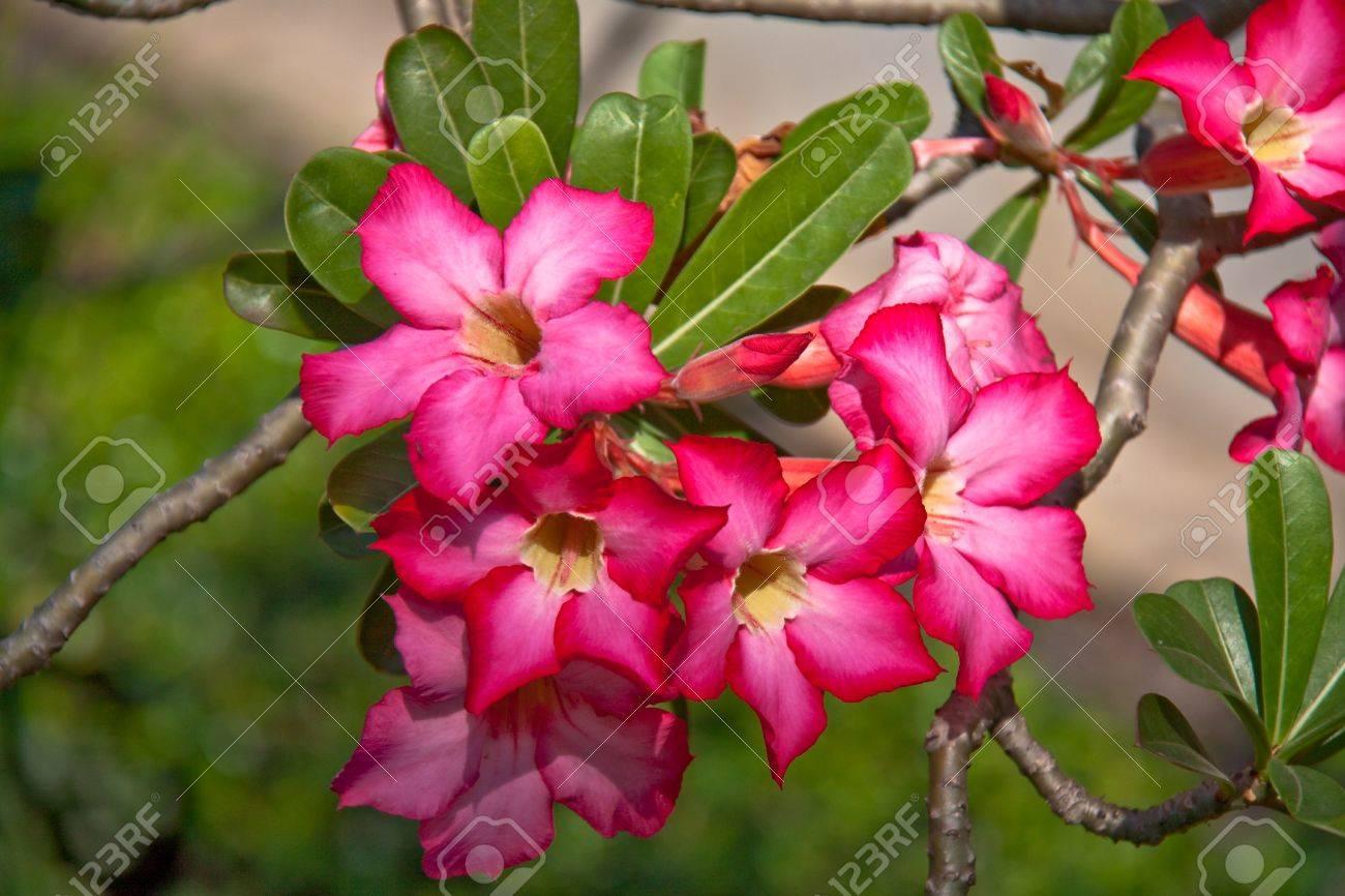 Adenium Flowers, Thailand. Stock Photo - 8579800