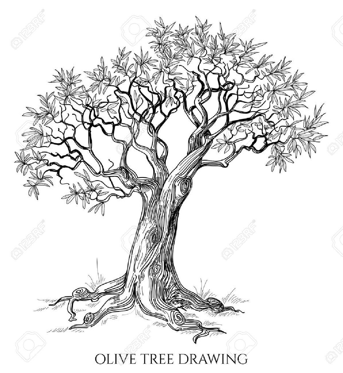 Plantation D Un Olivier En Pleine Terre