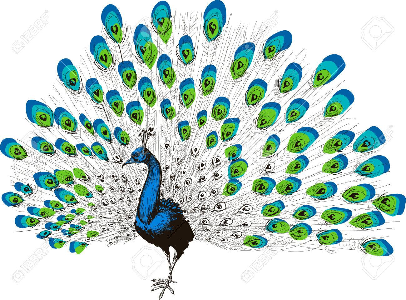 Colorful peacock drawing - 46667076