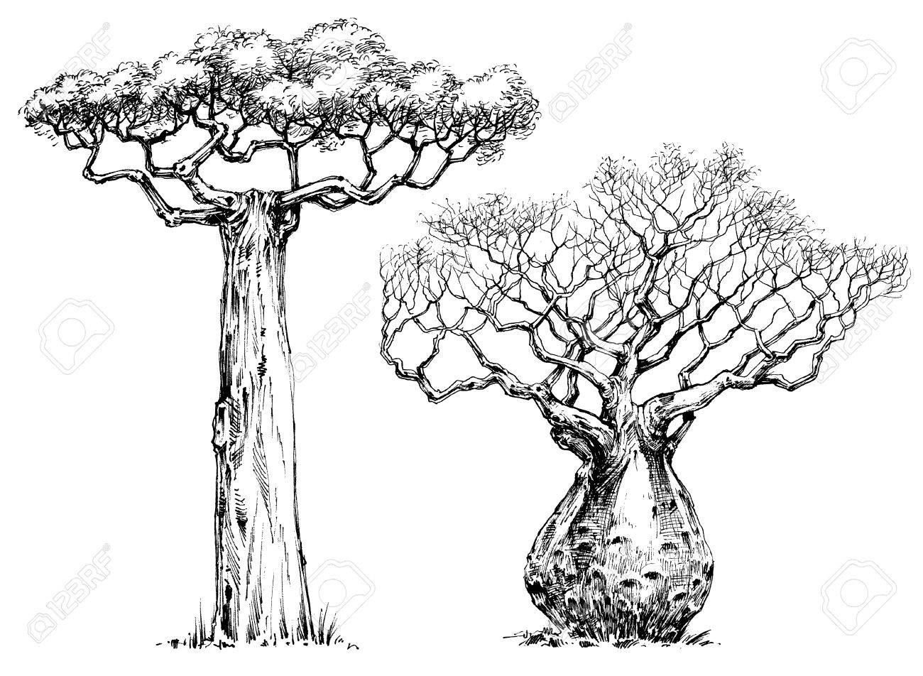 African iconic tree, baobab tree - 55852473