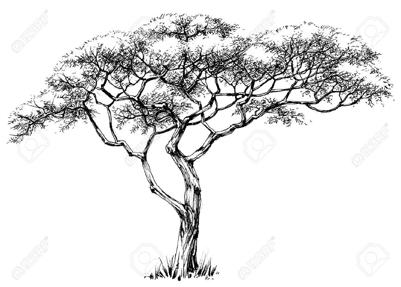 African tree, marula tree - 55852568