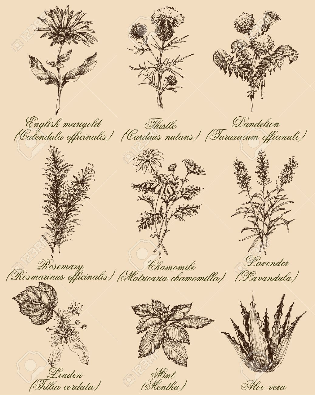 Flowers and herbs set. Medicinal plants and spices hand drawn, vintage engraving style. Botanical set for healthy living - 61110263